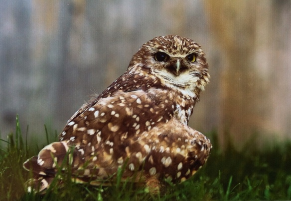 Trooper the Burrowing Owl