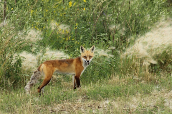Red fox near Bethune